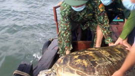 Hà Tĩnh: Thả một cá thể rùa biển quý hiếm nặng hơn 80 kg về môi trường tự nhiên