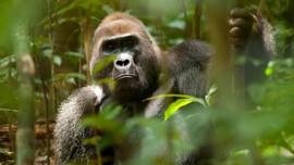 Loài vượn lớn mất khoảng 90% môi trường sống do nóng lên toàn cầu và tàn phá môi trường