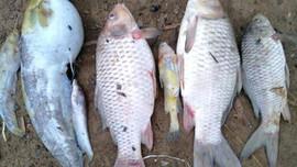 Thạch Thành (Thanh Hóa): Cá chết bất thường gần trang trại chăn nuôi lợn New Hope