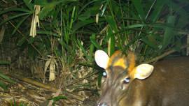 Nhiều động vật hoang dã quý hiếm, nguy cấp được phát hiện nhờ bẫy ảnh tại Thừa Thiên Huế