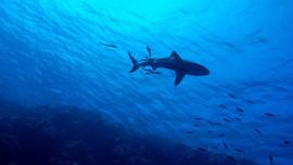 Nhiệt độ nước biển tăng cao đe dọa sự tồn tại của cá mập và cá đuối