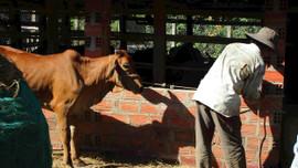 Bình Định nỗ lực khống chế dịch bệnh viêm da nổi cục ở trâu, bò