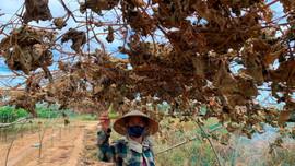 Vùng rau lớn nhất ở Đà Nẵng phải bỏ hoang do thiếu nước ngọt