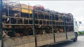 TP Hải Dương  thông báo về các trường hợp liên quan đến hàng quán và người ăn thịt chó, mèo