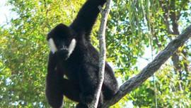 Hà Tĩnh: Vườn Quốc gia Vũ Quang tiếp nhận cá thể vượn đen má trắng quý hiếm