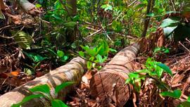 Quảng Ngãi: Khẩn trương xác minh đối tượng chặt phá rừng phòng hộ