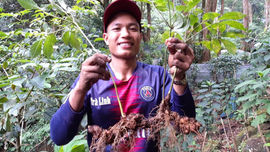 Nam Trà My (Quảng Nam): Giữ rừng để trồng, giữ nguồn gen sâm quý