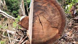 """Thừa Thiên - Huế: Làm rõ việc rừng phòng hộ A Lưới bị """"xẻ thịt"""""""