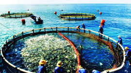 Phát triển nuôi biển trở thành ngành sản xuất hàng hóa quy mô lớn