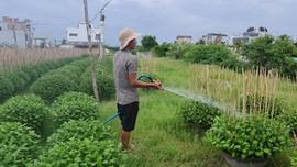 Bình Định: Nhọc nhằn nghề trồng hoa cúc