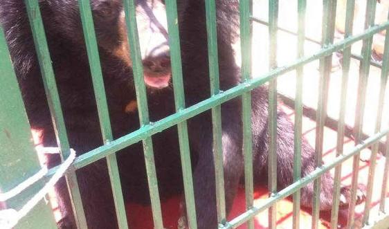 Một gia đình tự nguyện bàn giao cho Vườn quốc gia Hoàng Liên (Sa Pa) nuôi dưỡng một con gấu hơn 10 tuổi
