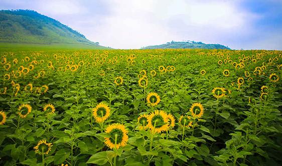 Đẹp ngỡ ngàng cánh đồng hoa hướng dương