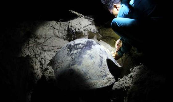 Tham gia bảo tồn rùa biển tại Côn Đảo