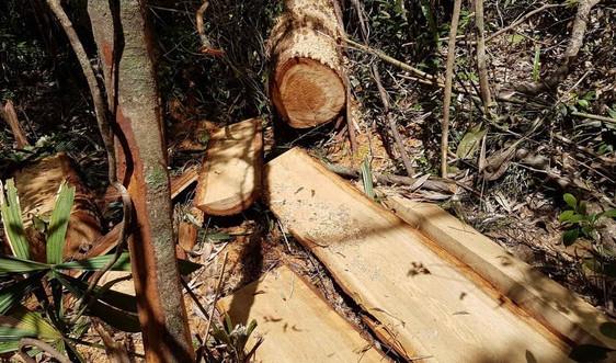 Vụ phá rừng pơmu ở Quảng Nam: Kỷ luật Đảng nhiều tổ chức, cá nhân
