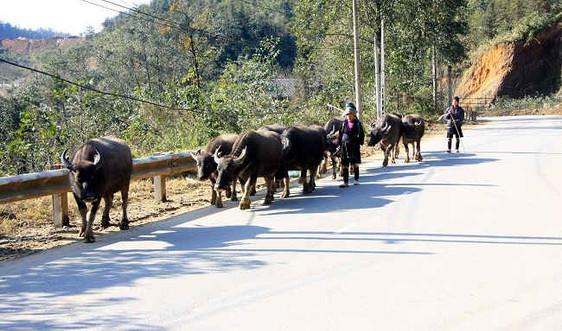 Người dân Sa Pa đi tránh rét cho đàn gia súc