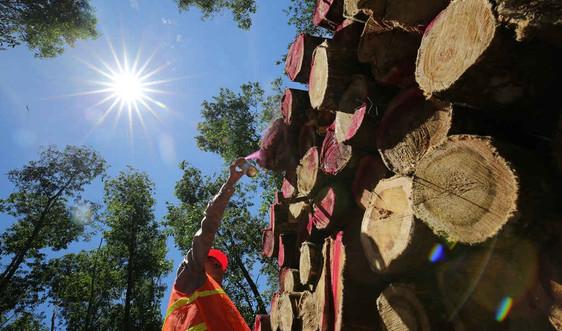 Thúc đẩy quản lý rừng bền vững và thương mại gỗ hợp pháp