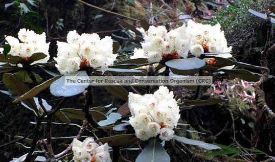 Sáu loài cây cổ thụ quý hiếm của Vườn quốc gia Hoàng Liên - Sa Pa