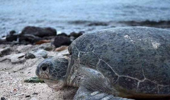 Bảo tồn Rùa biển: Tiếp tục trao quyền cho các khu Bảo tồn biển