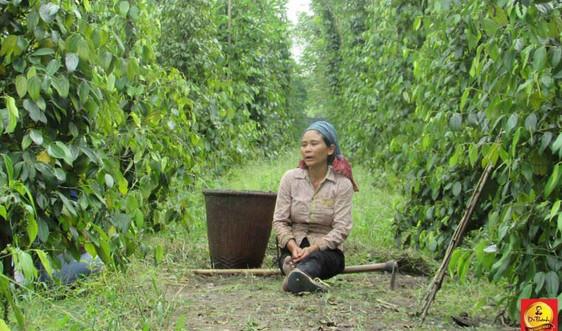 Gia đình nghèo ở Bình Phước từng bước thoát nghèo nhờ nuôi bò