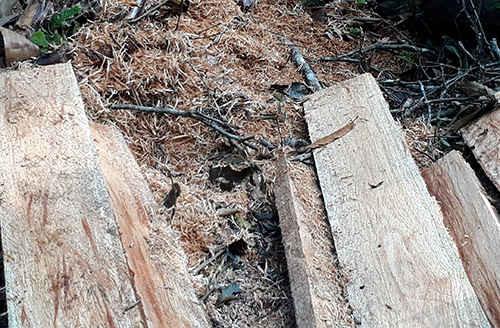 Phá rừng ở Yên Bái: Vì sao vẫn chưa khởi tố bị can?