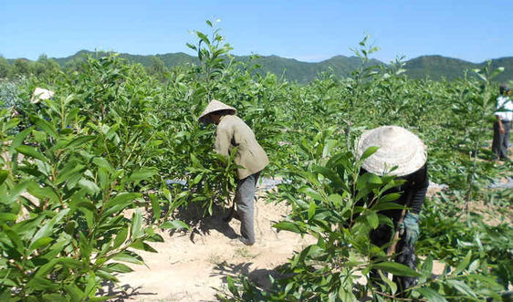 Bình Định: Lợi ích lớn từ việc trồng rừng gỗ lớn