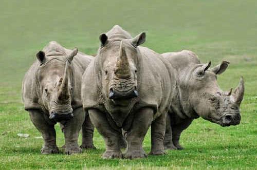 USAID hỗ trợ ngăn chặn tiêu thụ sừng tê giác tại Việt Nam