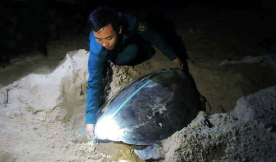 Côn Đảo giám sát chặt môi trường sống của rùa biển