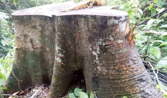 """Thừa Thiên Huế: Rừng phòng hộ Phú Lộc """"chảy máu"""" nghiêm trọng"""