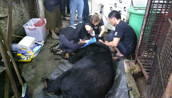 Animals Asia cứu hộ cá thể gấu ngựa thứ 200 tại Cao Bằng