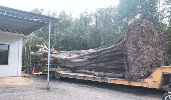"""Huế: Bắt quả tang xe đầu kéo vận chuyển cây đa """"khủng"""" ra Bắc"""