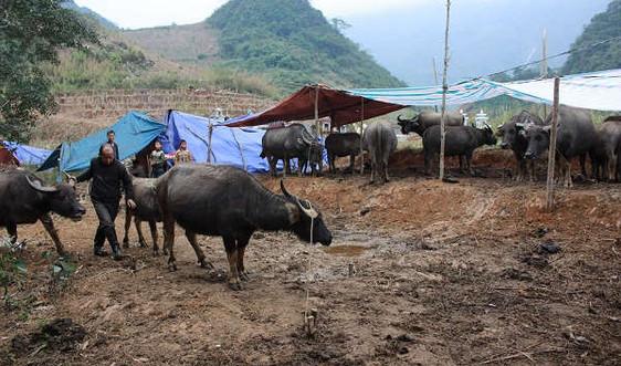 Đằng sau câu chuyện đưa trâu đi tránh rét tại Lào Cai