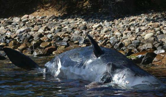 Cá nhà táng mang thai chết với 22 kg rác nhựa trong bụng, Ý cam kết cấm nhựa dùng một lần