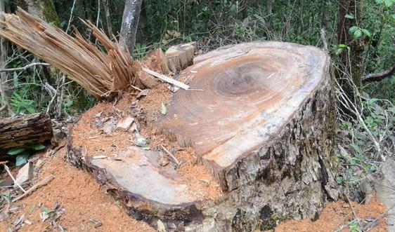 Đắk Nông: Điều tra, xử lý nghiêm vụ khai thác gỗ Du Sam trái phép