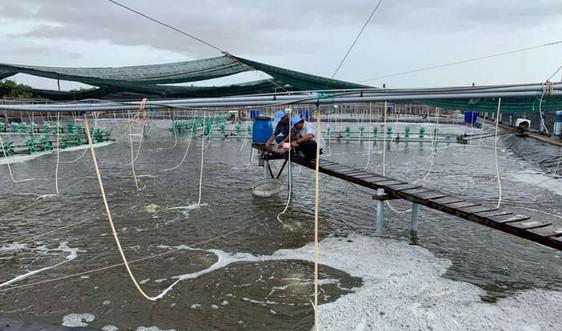 Tập đoàn Việt - Úc: Bí quyết thành công mô hình nuôi tôm kích cỡ lớn