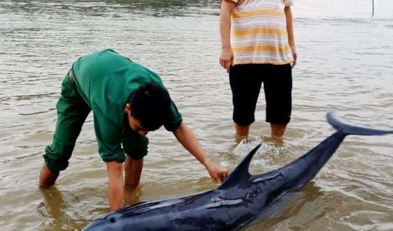 Giải cứu cá heo mắc cạn ở biển Cửa Đại