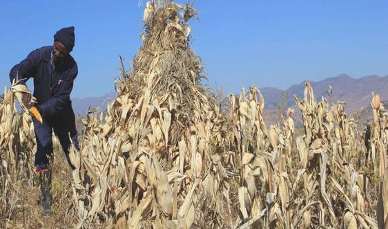 Hạn hán thảm khốc ở Lesotho, LHQ kêu gọi tài trợ