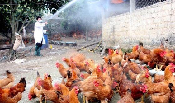 Bộ NN&PTNT ra Công điện khẩn về phòng, chống bệnh cúm gia cầm