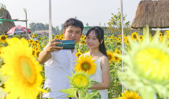 Vườn hoa hướng dương lớn nhất xứ Huế khoe sắc khiến du khách mê mẫn