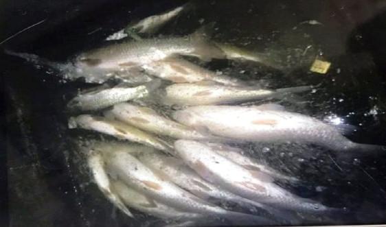 Thanh Hóa: Cá chết bất thường trên sông Mã