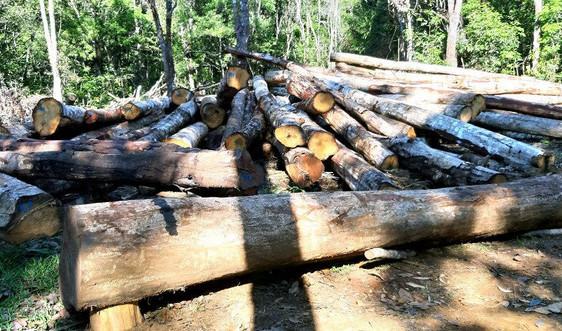Lợi dụng việc tận thu gỗ đường dây 500KV để khai thác gỗ ngoài hành lang tuyến