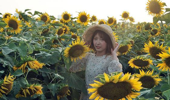 """Mê đắm với vườn hoa """"Mặt trời"""" ở quận Tây Hồ, Hà Nội"""