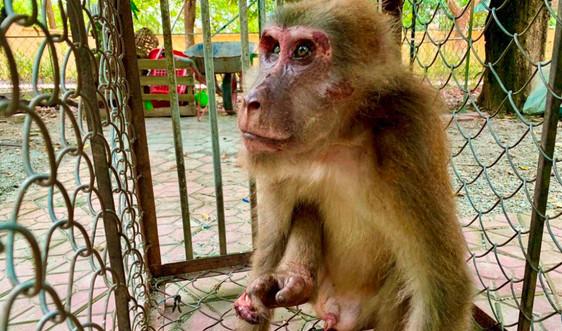 Hà Tĩnh: Tiếp nhận cá thể Khỉ Mốc về Vườn Quốc gia Vũ Quang