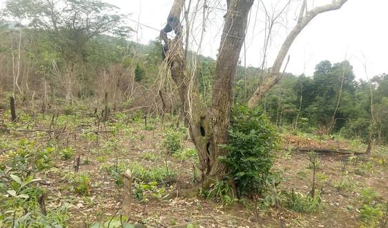 Quảng Bình: Phê duyệt Dự án Quản lý rừng bền vững và chứng chỉ rừng giai đoạn 2020 - 2030