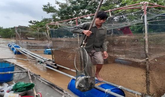 Quảng Bình: Xót xa cảnh cá lồng của người dân chết trắng sau mưa lũ