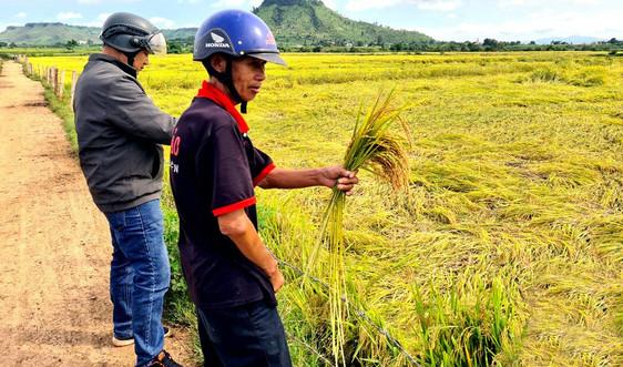 Nông dân Phú Thiện khóc ròng vì hàng ngàn ha lúa ngã đổ do mưa bão