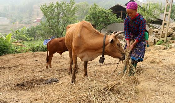 Bắc Hà - Lào Cai: Người dân chủ động tránh rét cho đàn gia súc