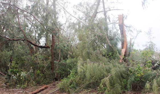 Tan nát rừng dương ven biển, Quảng Ngãi khẩn trương phục hồi để giảm thiểu gió bão