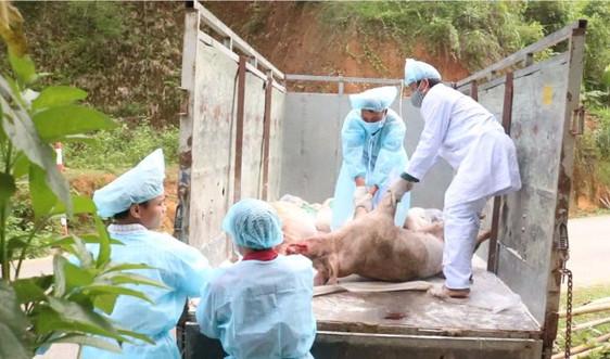 Phát hiện lợn nhiễm bệnh dịch tả lợn châu Phi từ tỉnh ngoài về Hải Phòng tiêu thụ