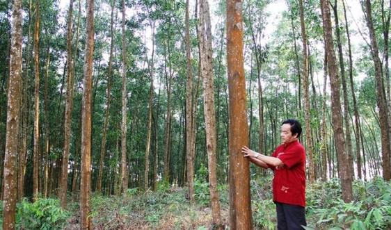 Thừa Thiên Huế: Rừng trồng gỗ lớn góp phần bảo vệ môi trường