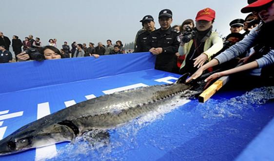 Năm 2021, Trung Quốc sẽ gia hạn lệnh cấm đánh bắt cá ở cửa sông Dương Tử